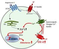 Wie ein mutiertes Gen Bluthochdruck hervorrufen kann