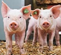 Tödliche Bakterieninfektion bei Schweinen entschlüsselt