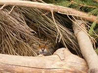 Deutsche Wildkatzen bleiben unter sich