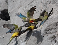 Artenschützer schlagen Alarm: Papageien noch bedrohter als befürchtet