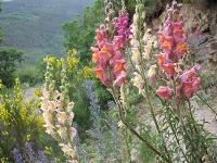 Gene für Blütenfarbe im Löwenmäulchen identifiziert