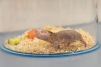 Erstmals biochemischer Schlüsselmechanismus für Alterungsprozesse in Mäusen, Nacktmullen und Fledermäusen beschrieben