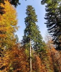 Genom der Tanne entschlüsselt: Baumart für den Wald der Zukunft