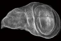 Zeitraffer-Mikroskopie zeigt wie Gewebe ihre Gestalt annehmen