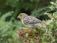 Die Vorfahren der Singvögel entwickelten einen neuen Weg, Zucker zu schmecken