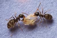 Tödliche Desinfektion im Ameisennest