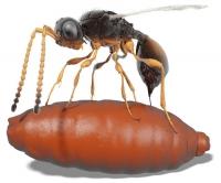 Parasiten in fossilen Fliegenpuppen nachgewiesen