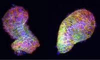 Polarisierte Zellen bringen das Herz in Form