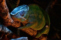 Leuchtende Echsen - Knochenbasierte Fluoreszenz bei Chamäleons