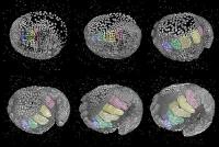 Embryonalentwicklung: Wie entstehen aus Zellen Gliedmaßen?